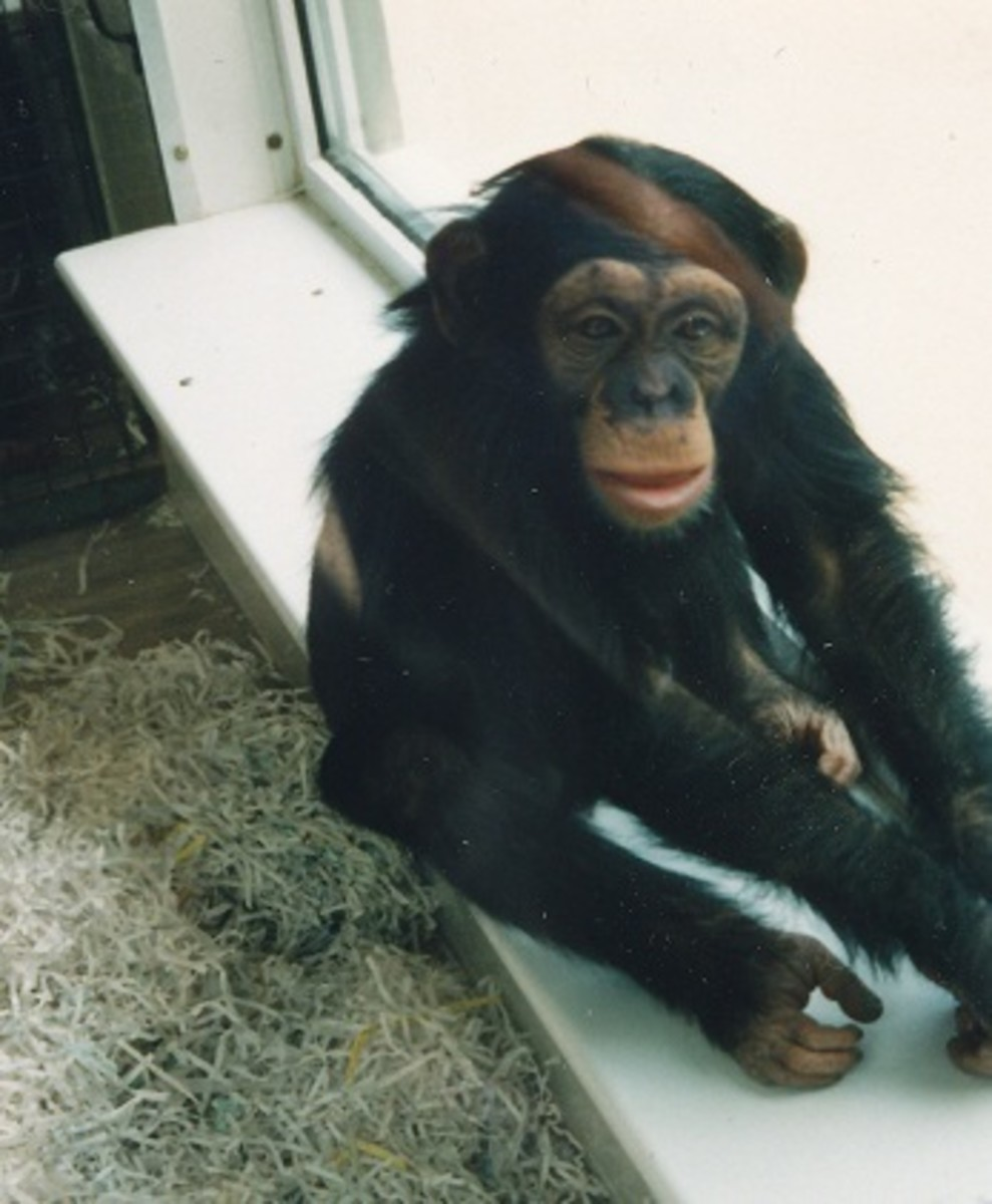 wild chimps have been observed to swallow leaves containing anthelmintic properties.