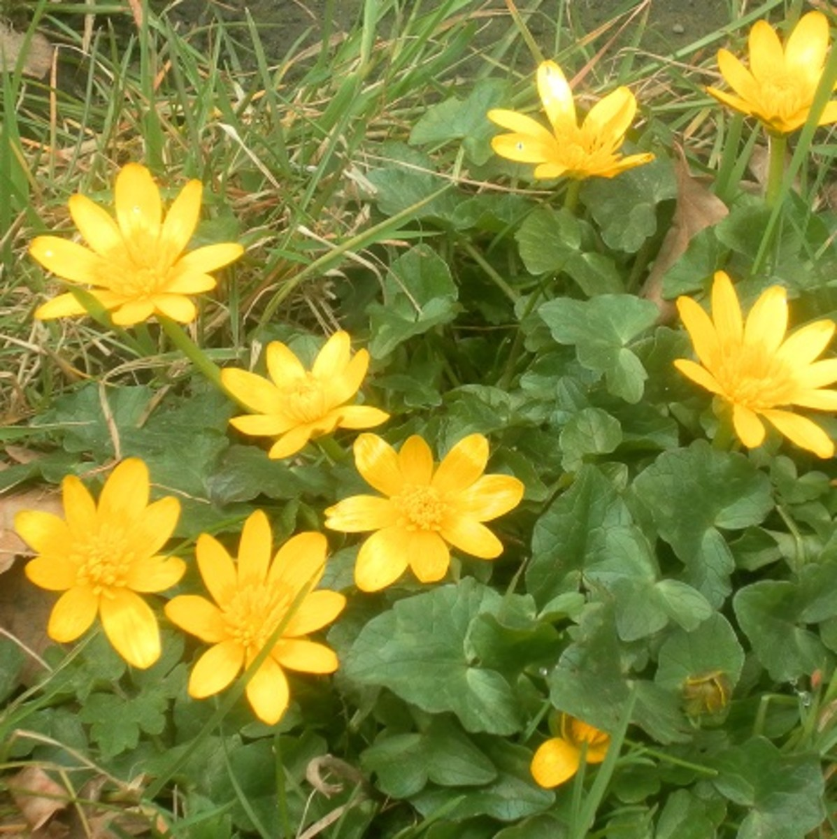 historically, lesser celandine has been used to treat digestive disorders and piles.
