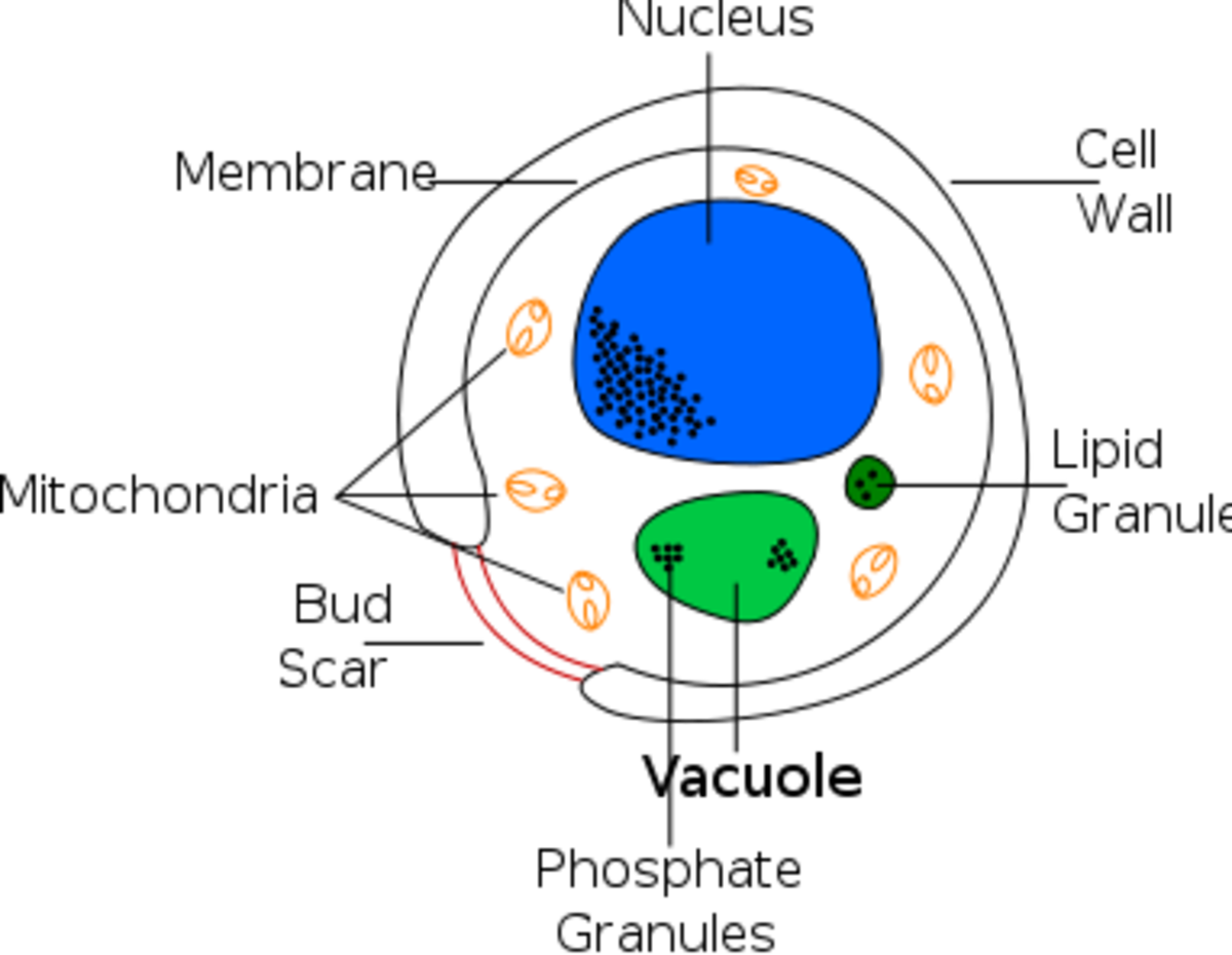 This is a simplified diagram of a typical yeast cell. As in other cells, the nucleus contains the genetic material and the mitochondria produce energy. Yeast cells reproduce by a process called budding.