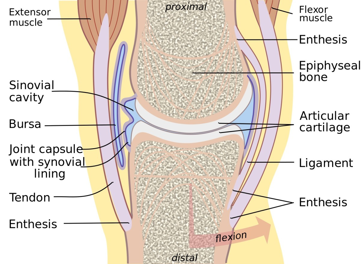 A synovial joint