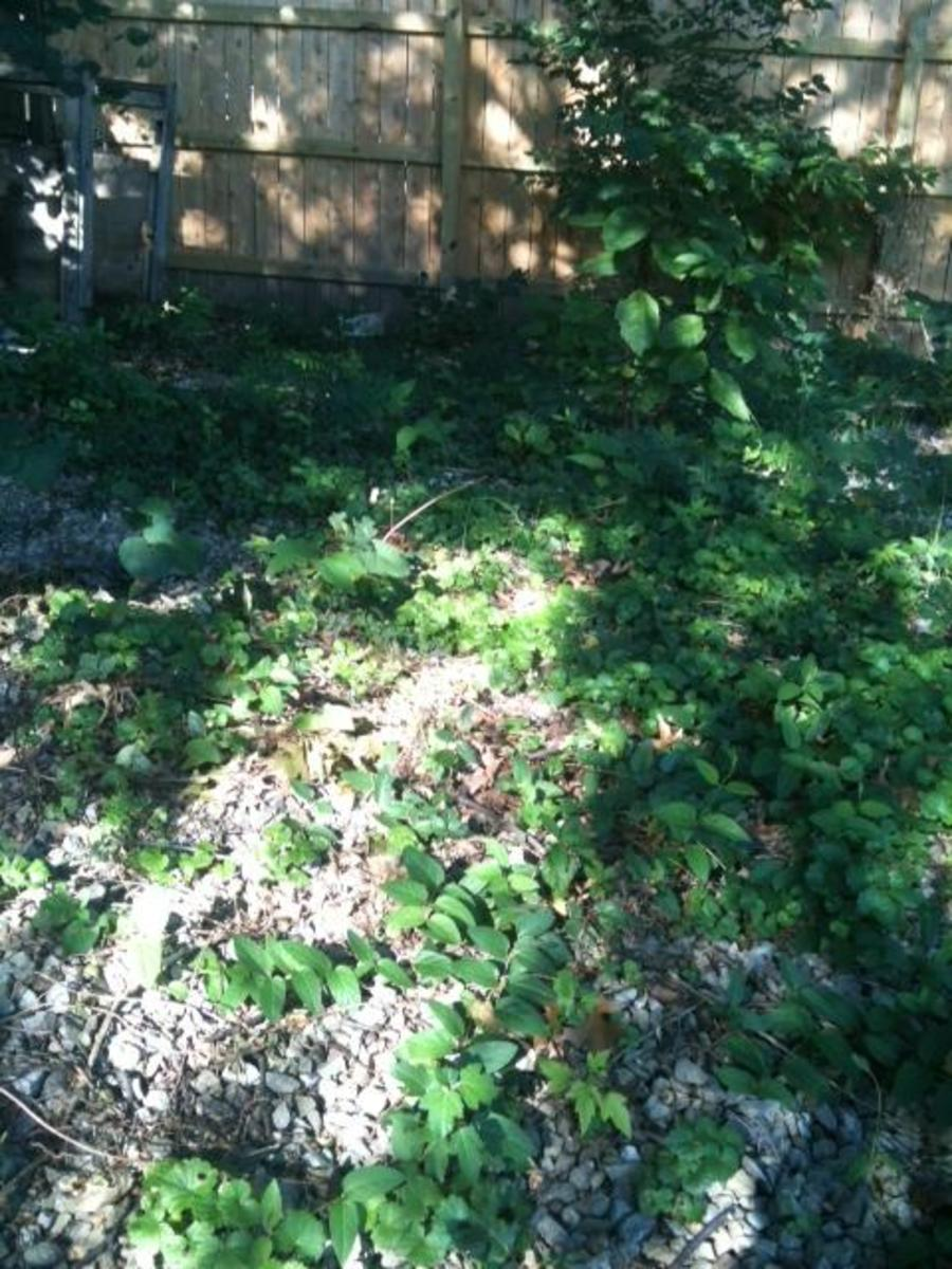 Can you see the poison oak in this photo?