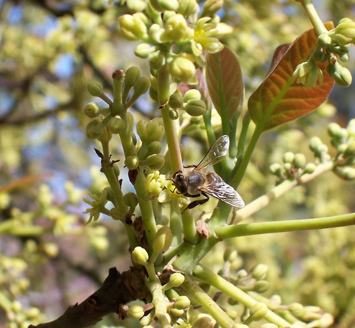 Young leaves, flowers, and flower buds of an avocado tree