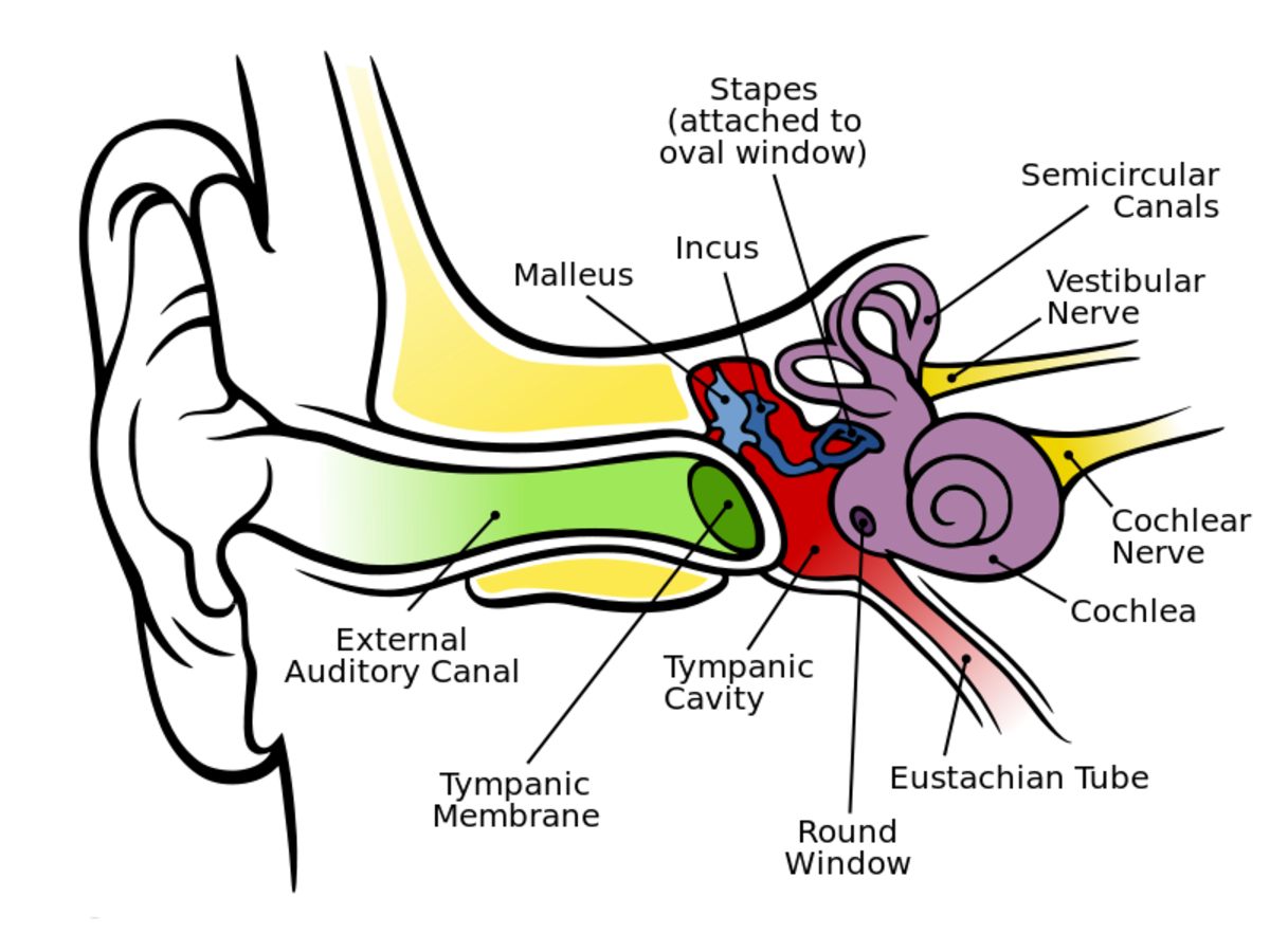 A dagram of the human ear; external auditory canal is another name for the ear canal, tympanic membrane is another name for the eardrum, and cochlea nerve is another name for the auditory nerve.