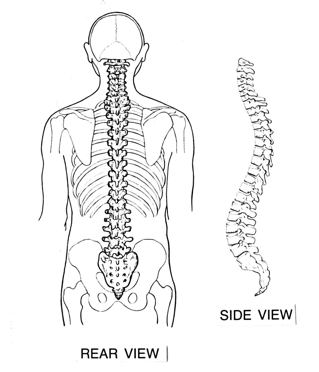 A healthy backbone, or spine