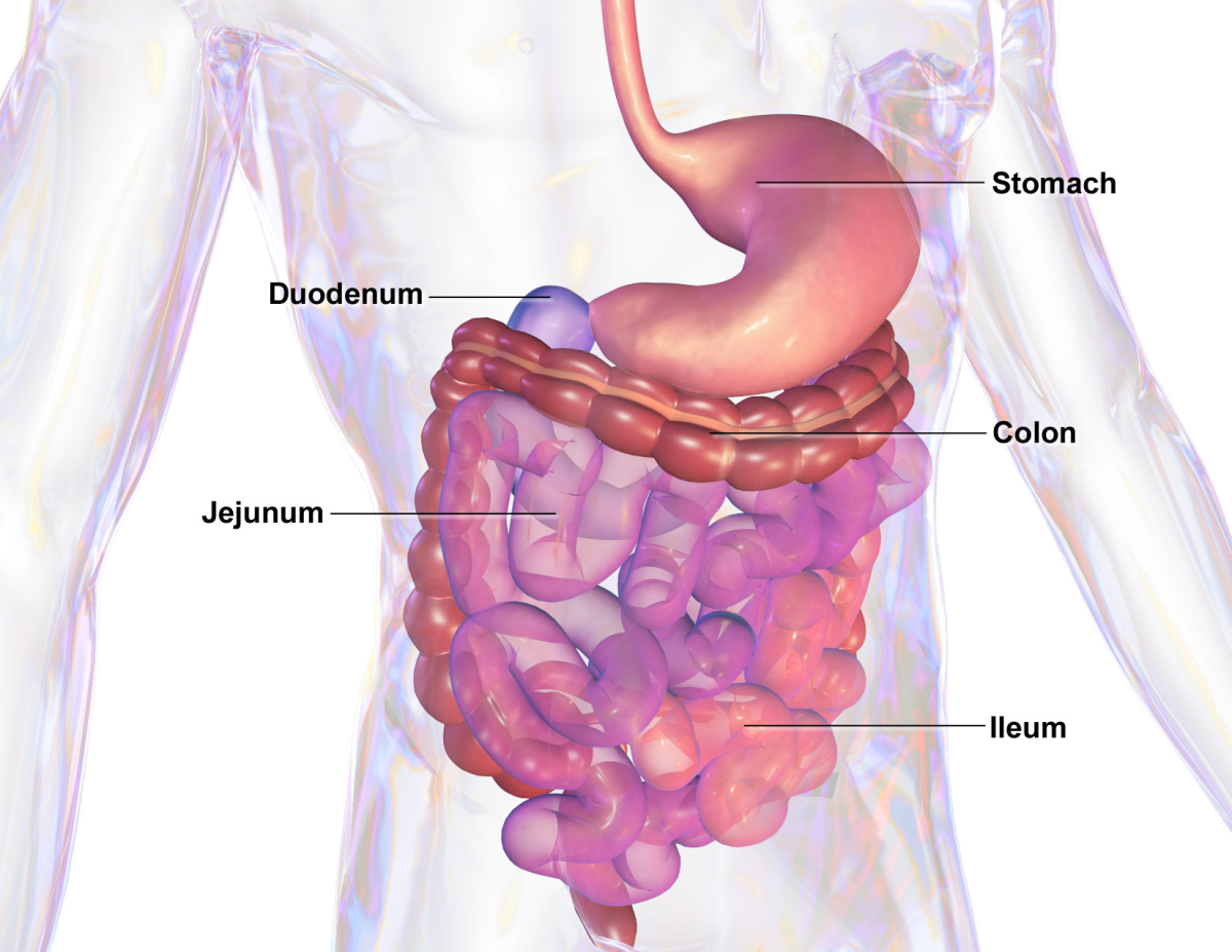 Campylobacter chiefly affects the jejunum, the ileum, and the colon.