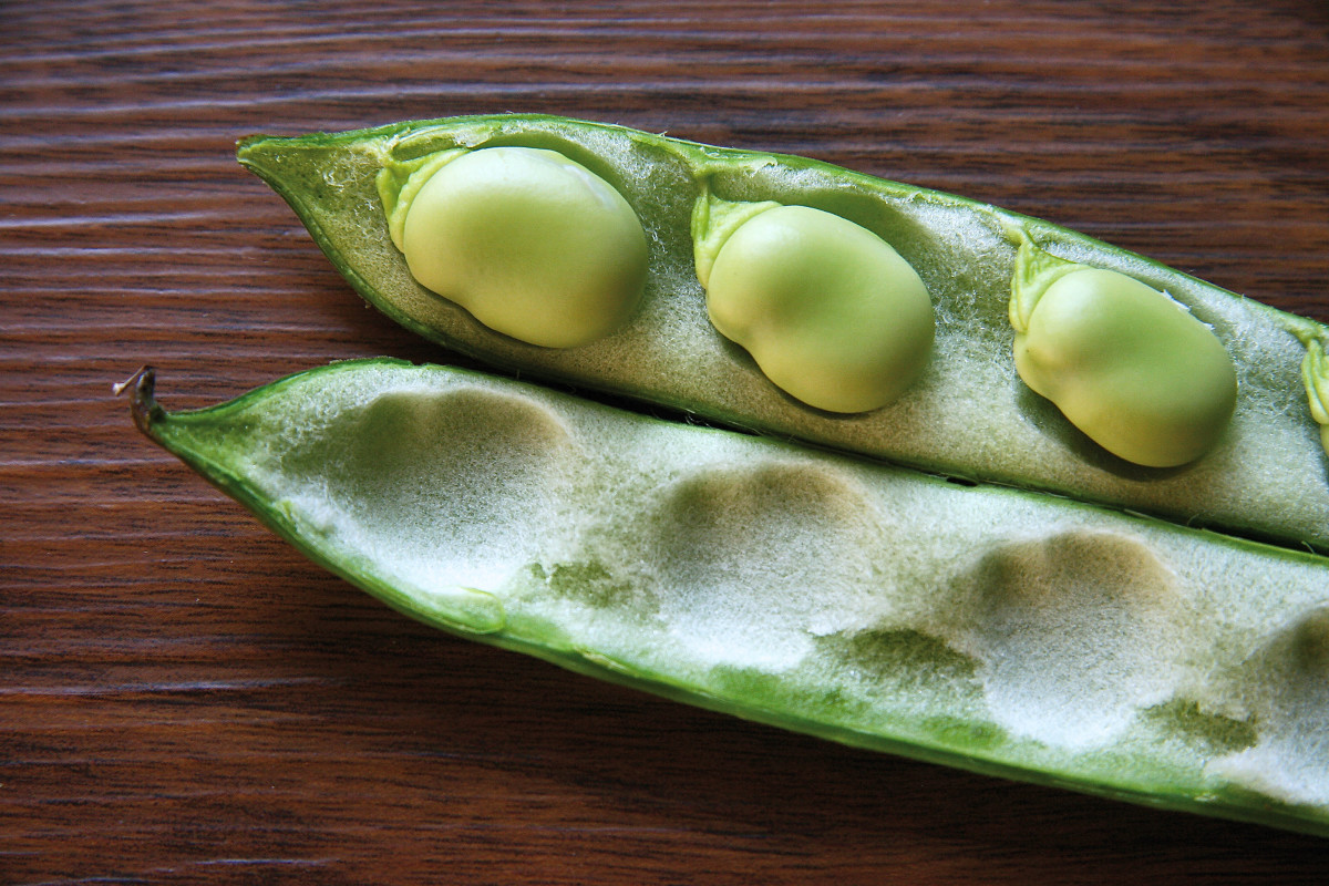 Broad beans, or fava beans, cause hemolytic anemia in some people with G6PD deficiency.