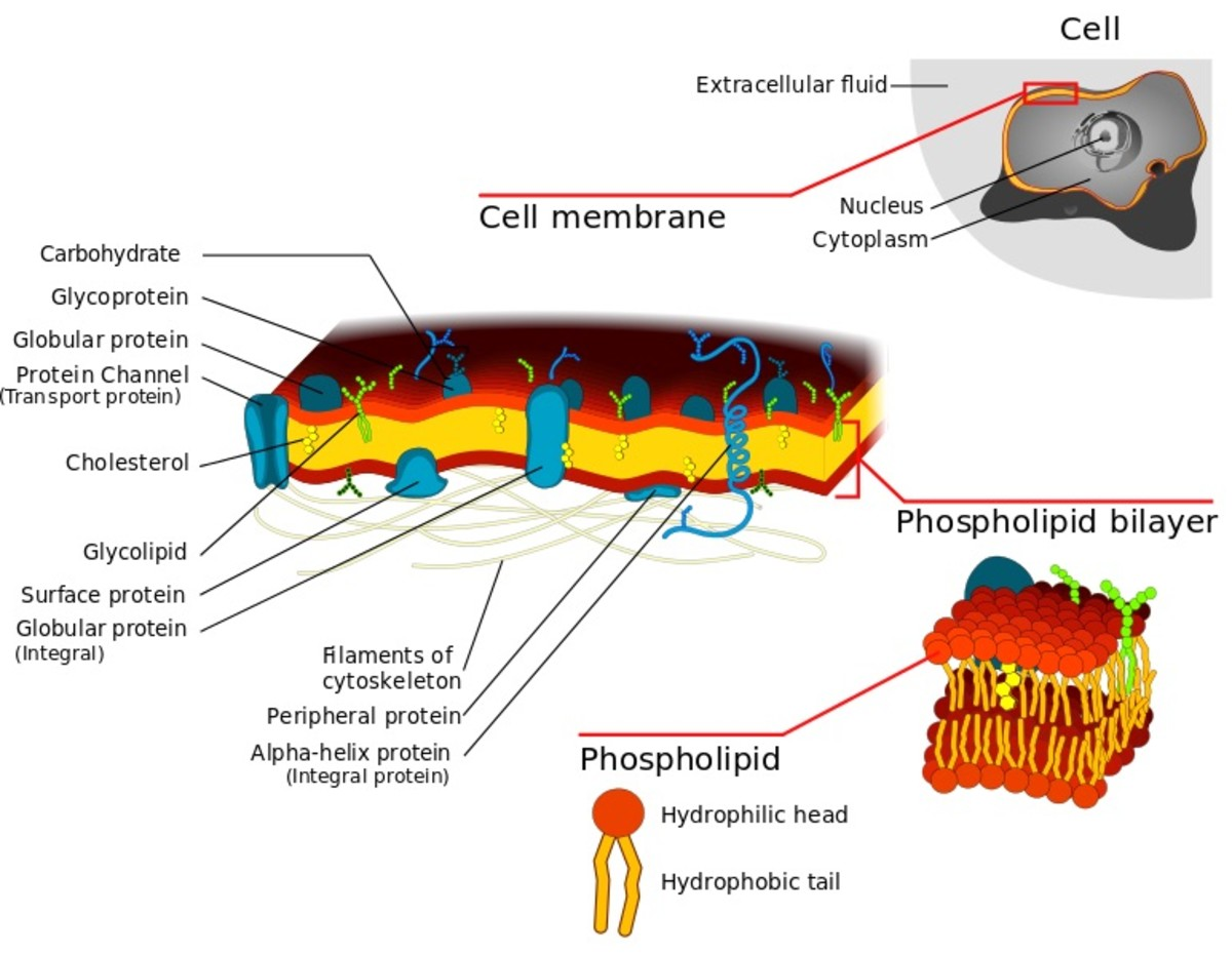 A diagrammatic representation of the cell membrane