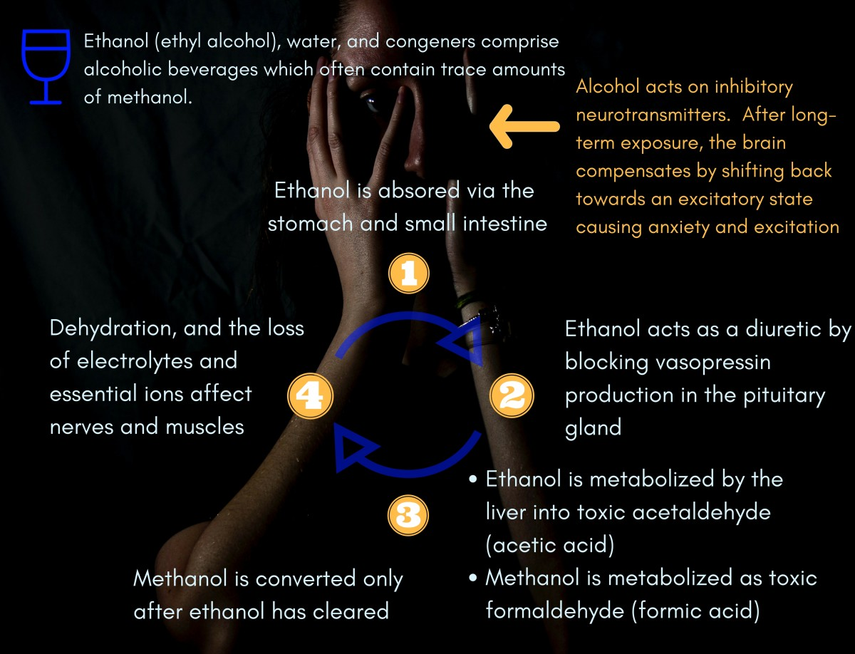 How alcohol is metabolized in the body.