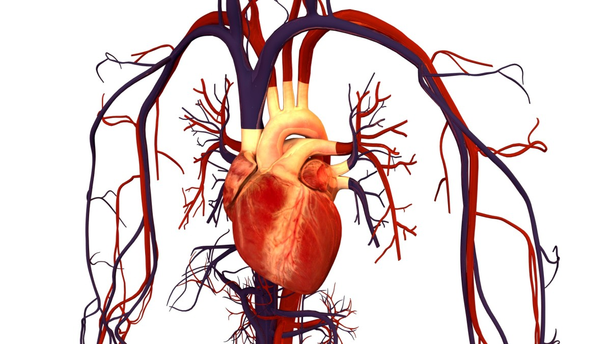 Arteries take blood away from the heart and are traditionally coloured red in diagrams. Veins return blood to the heart and are traditionally coloured blue.