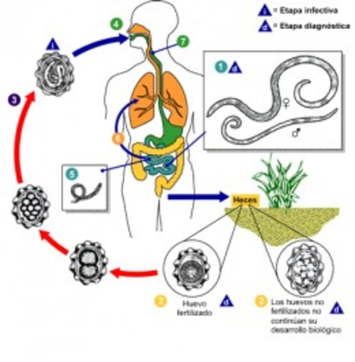 The life cycle of ascariasis worm.