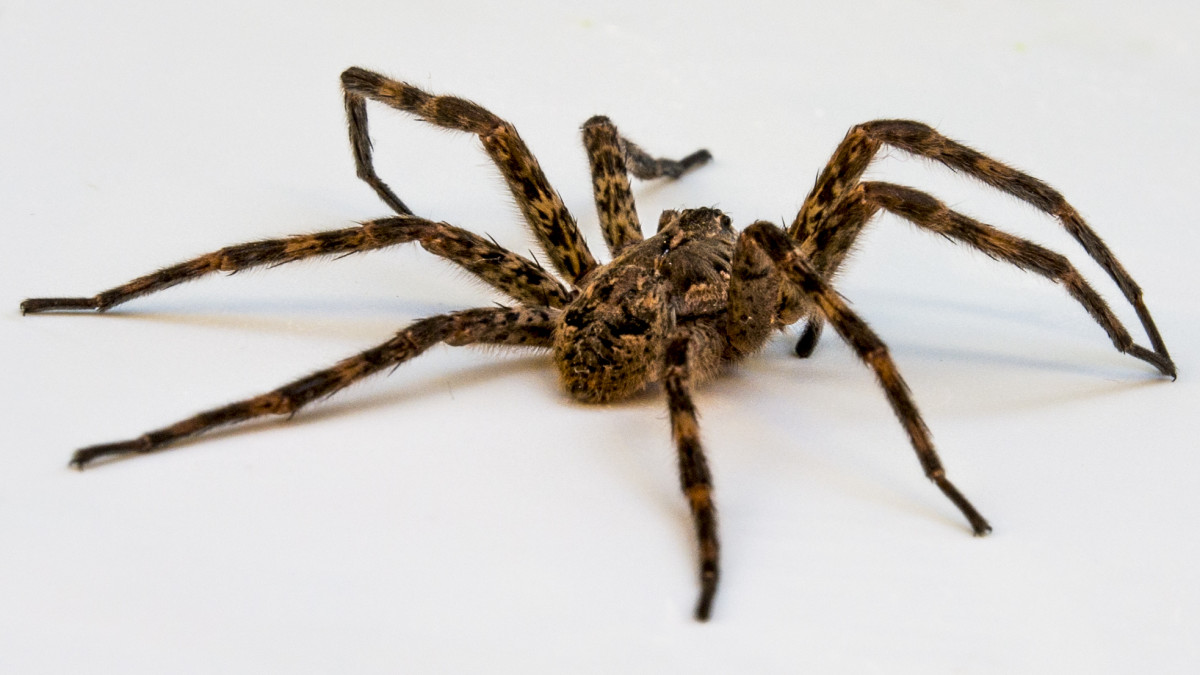 There are many different kinds of wolf spiders. They're usually hairy, gray, brown, or black with stripy colored markings on their bodies. They range in size from 0.4 to 1.38 inches (10 to 35 mm) (legs not included).
