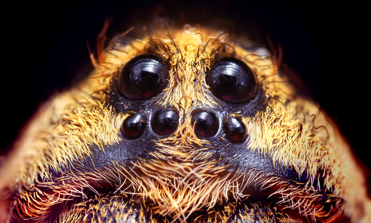 The wolf spider may be recognized by its eight eyes arranged in three rows. From this angle, you can hardly see the top row of two eyes.