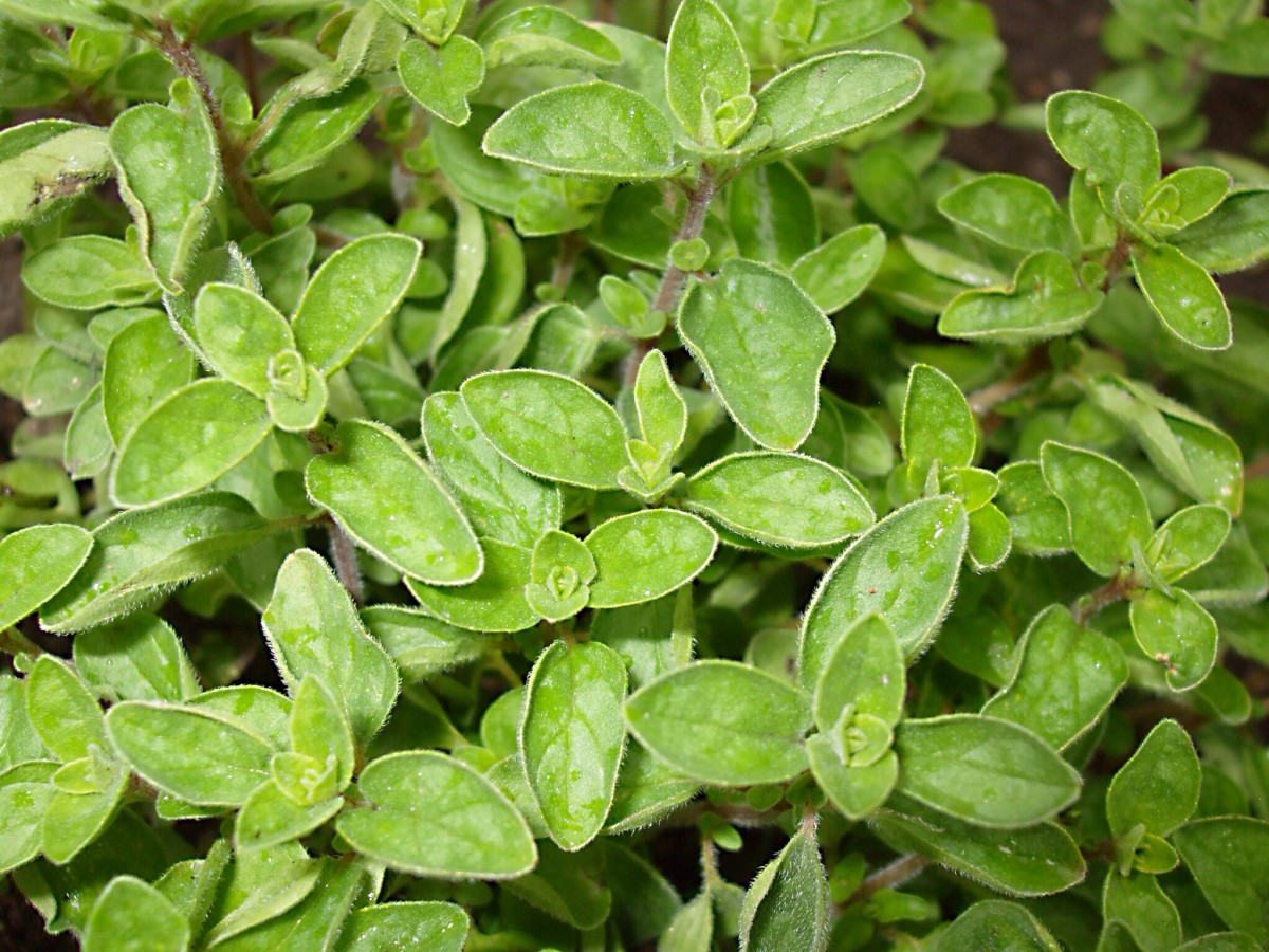 Oregano is a healthy herb and adds flavor to a meal.
