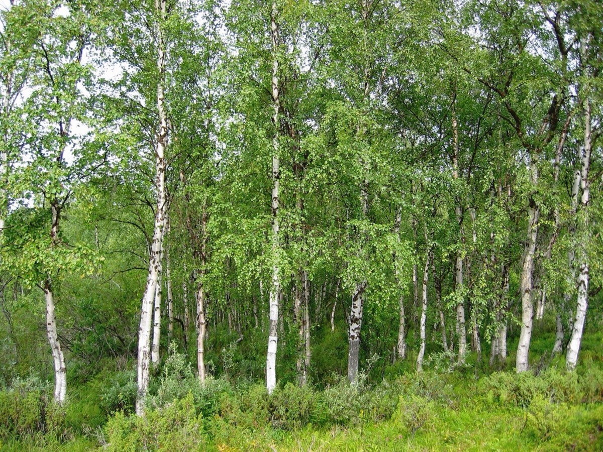 Silver birch is native to Europe. Its pollen is very allergenic.