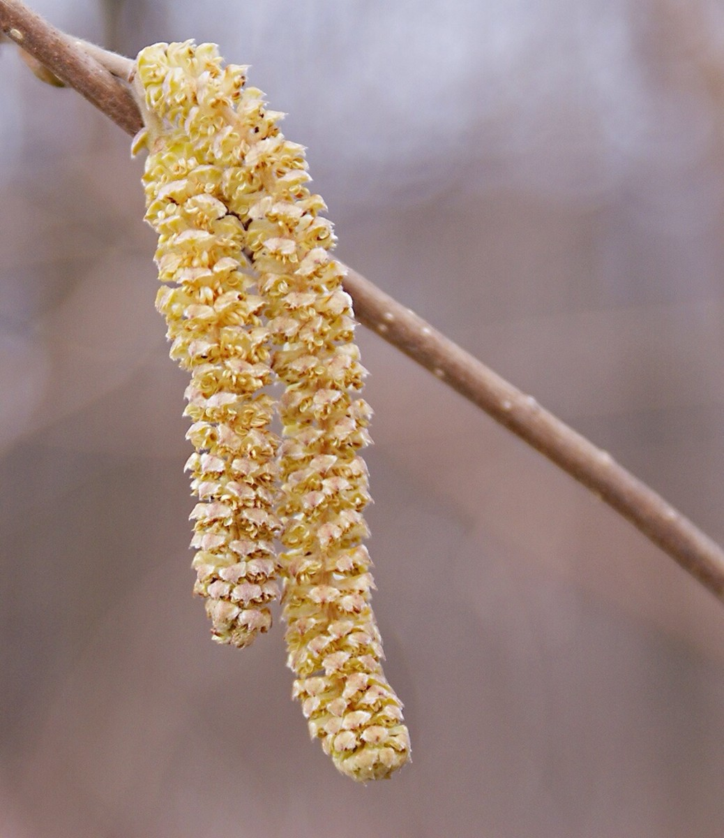 A catkin is a cluster of flowers. Catkins release pollen grains in the spring. These can cause hay fever.