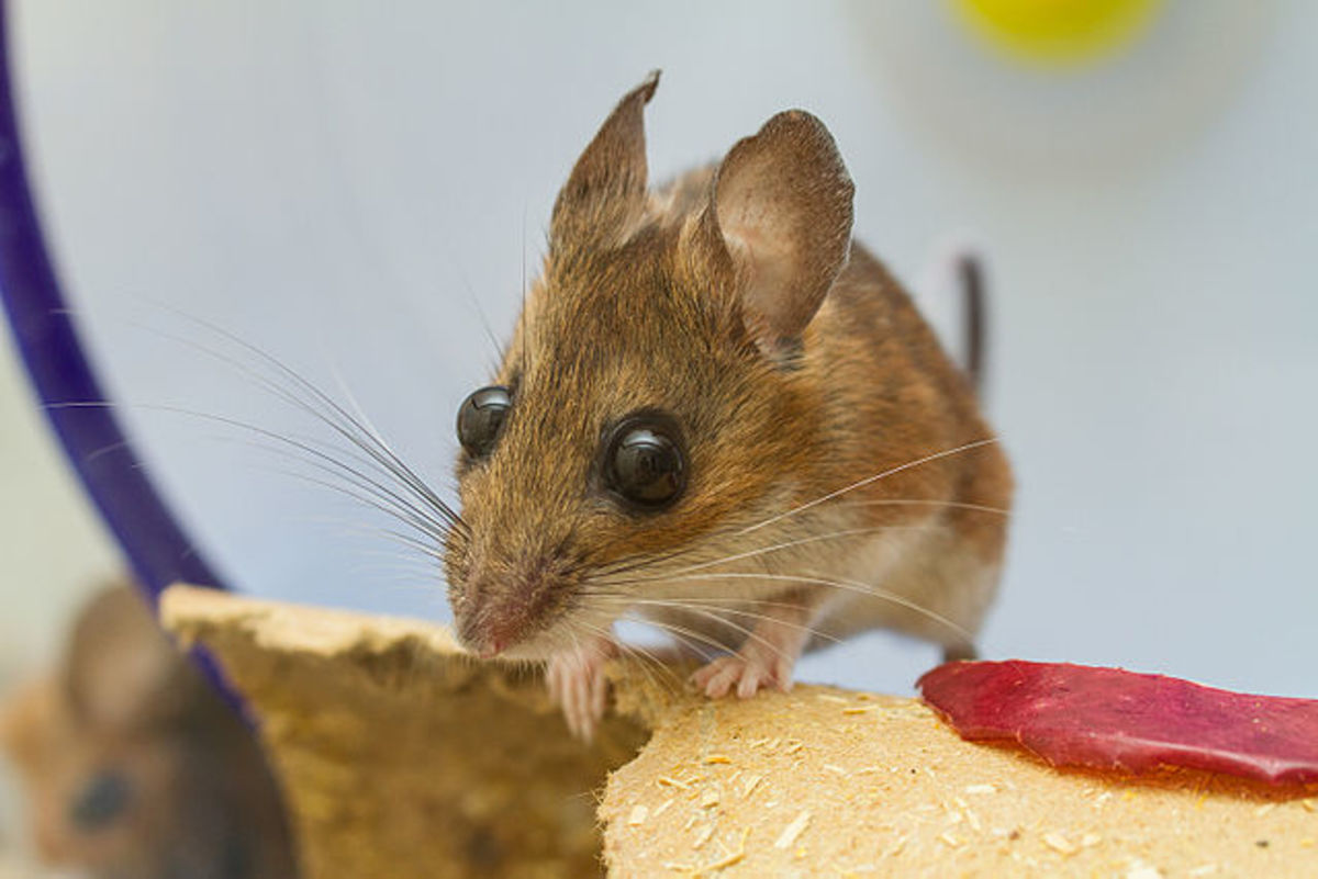 a white-footed mouse that was found by the photographer