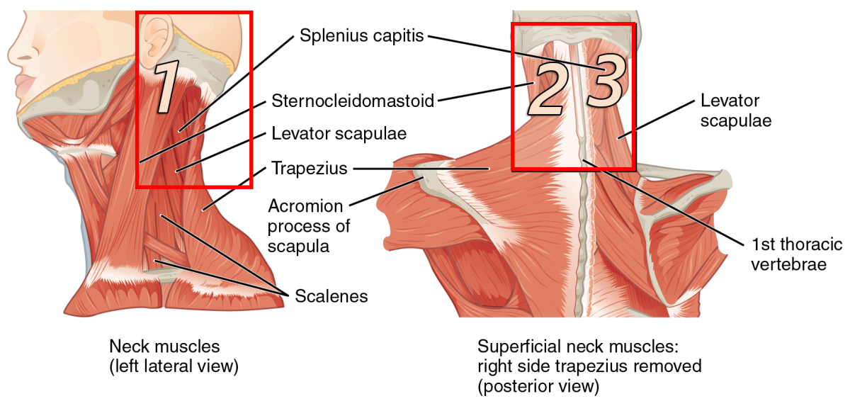The top of the Sternocleidomastoid (say that fast 3 times) and the Splenius Capitis are the regions you want to focus on.