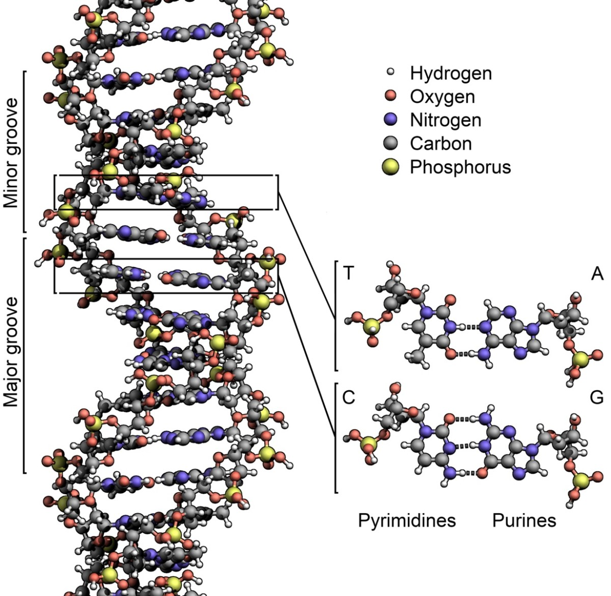 DNA exists as a double helix.