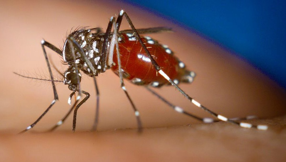 The Asian tiger mosquito was introduced to the United States in the 1980s.