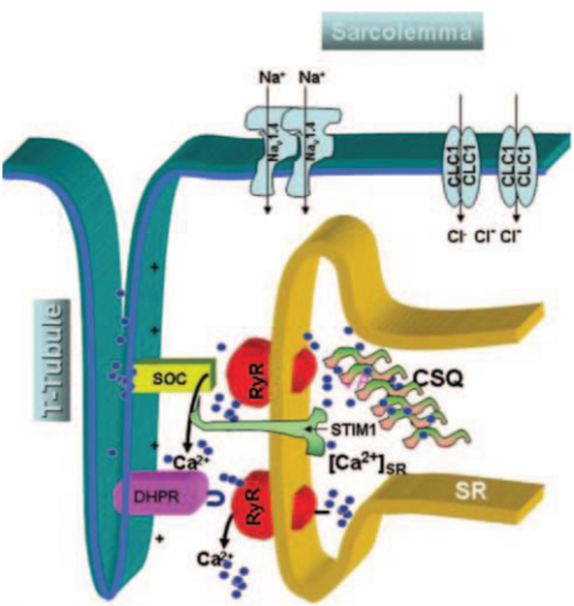 Schematic of the elements of skeletal muscle excitation–Ca release coupling that functions in normal excitation–contraction coupling