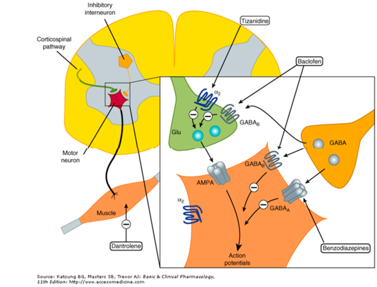 Sites of spasmolytic action - Dantrolene acts on the sarcoplasmic reticulum in skeletal muscle.