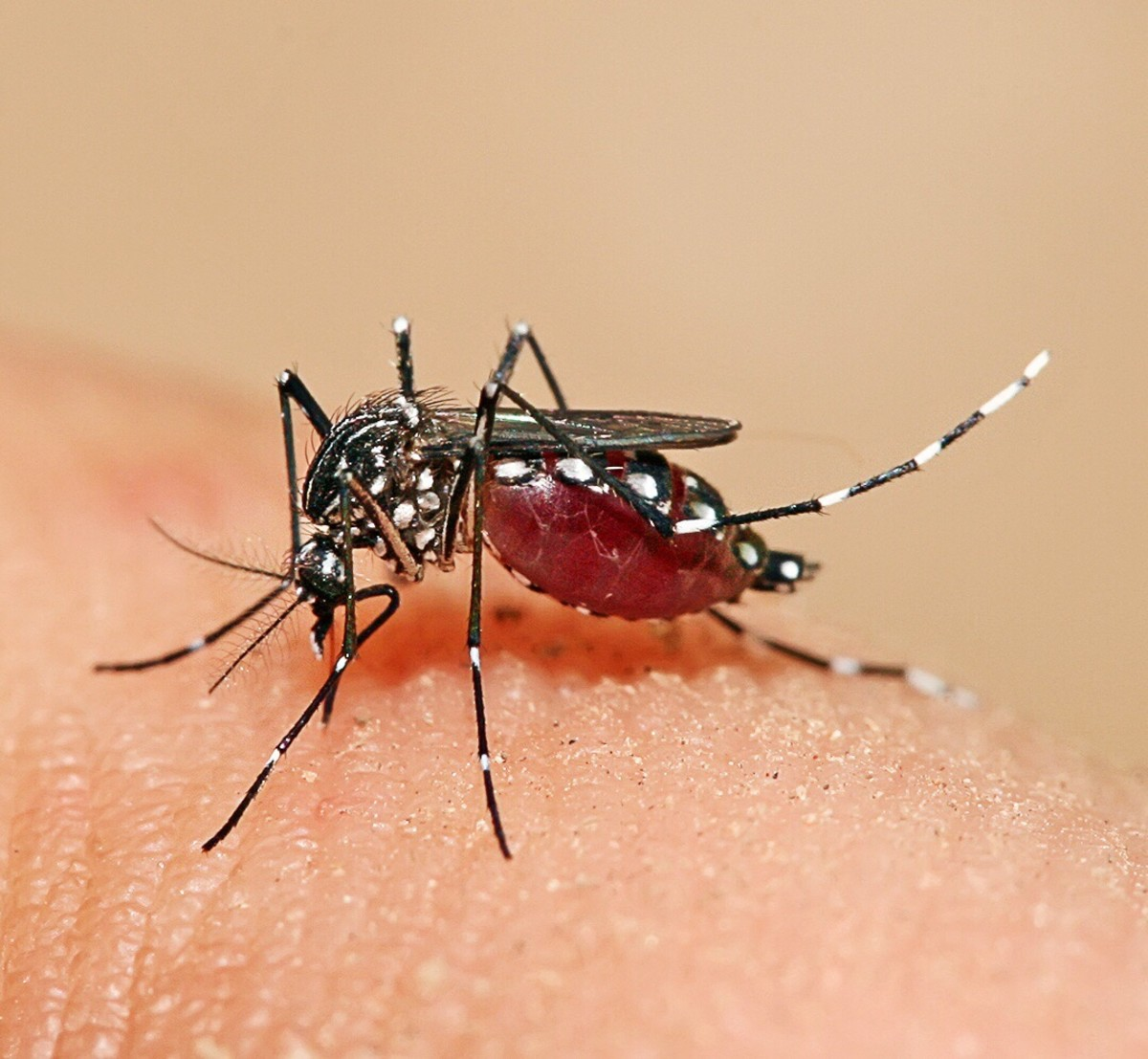 Aedes aegypti feeding on human blood; photo by Muhammad Mahdi Karim