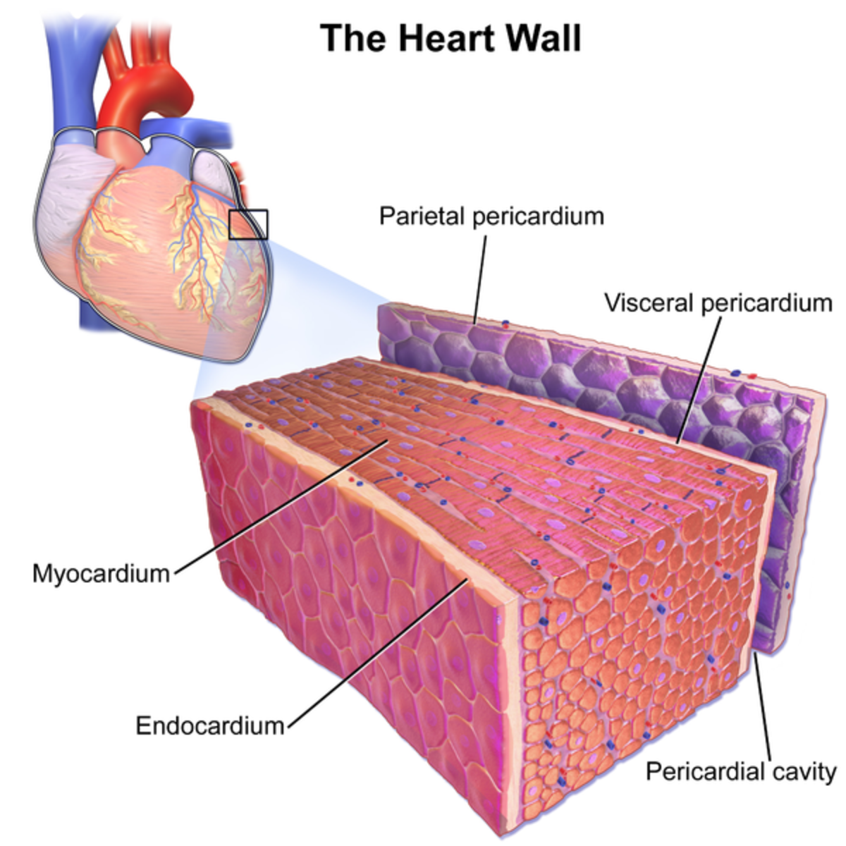 The layers of the heart wall
