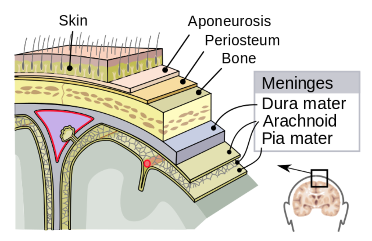 The meninges around the brain