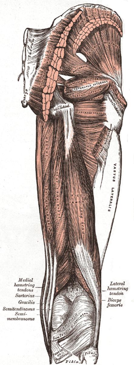 Groin Strain - Inguinal Hernia and Piriformis