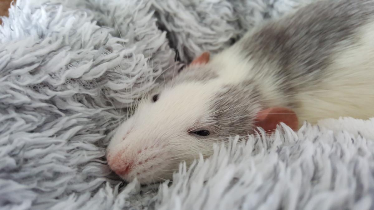 One of my rats, Chadwick