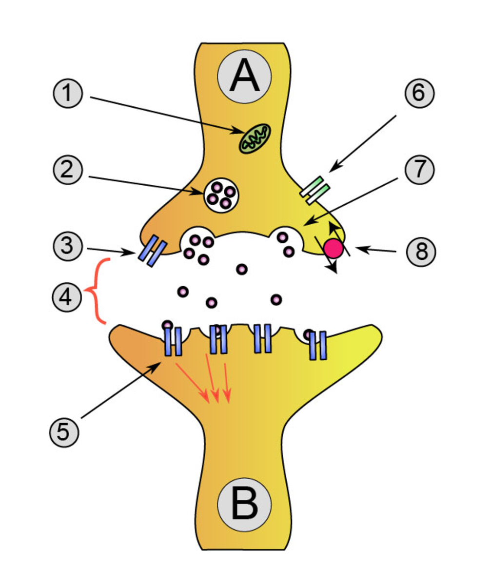 Diagram of a neurotransmitter being acquired by brain receptors. Habitual loss of sleep can partially disable these receptors, leaving someone with inadequate levels of molecules that regulate and stabilize moods.