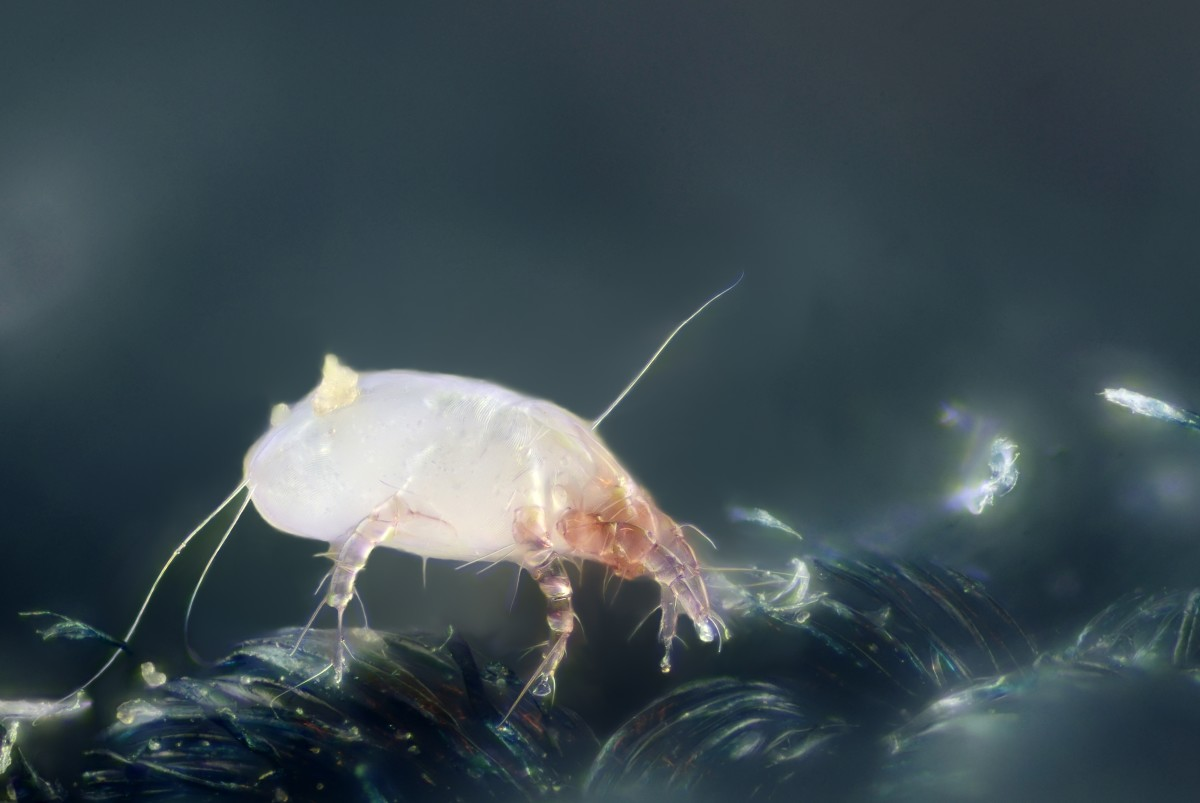 Meet your roomates.  Dust mites are microscopic bugs related to spiders.  They feed off flakes of skin and live in warm, moist environments such as mattresses, bedding, upholstered furniture, carpets and curtains.