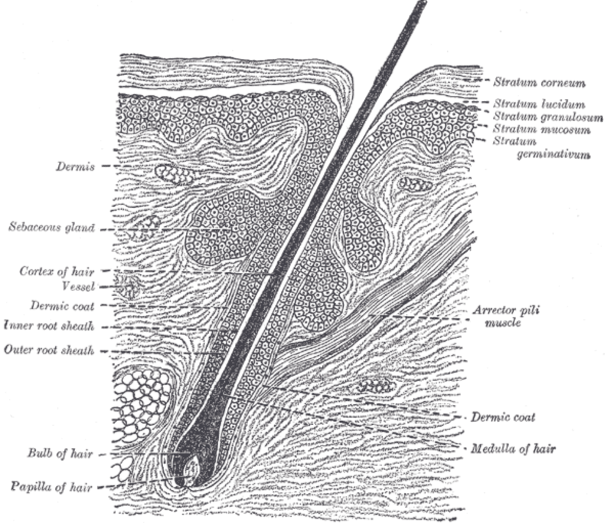 Gray's Anatomy diagram of a hair follicle from 1918. Bartleby.com: Gray's Anatomy, Plate 944