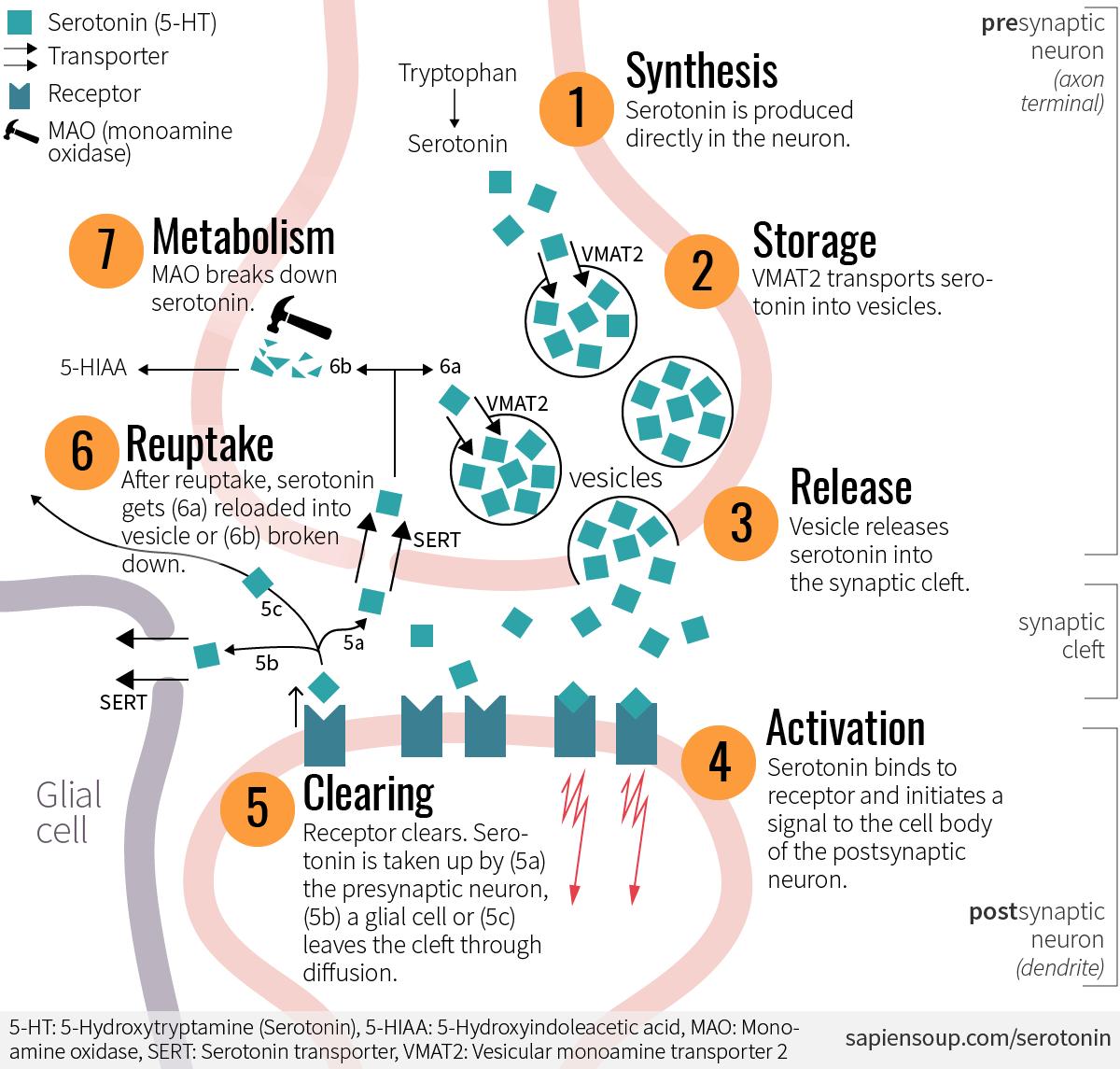 the cycle of serotonin