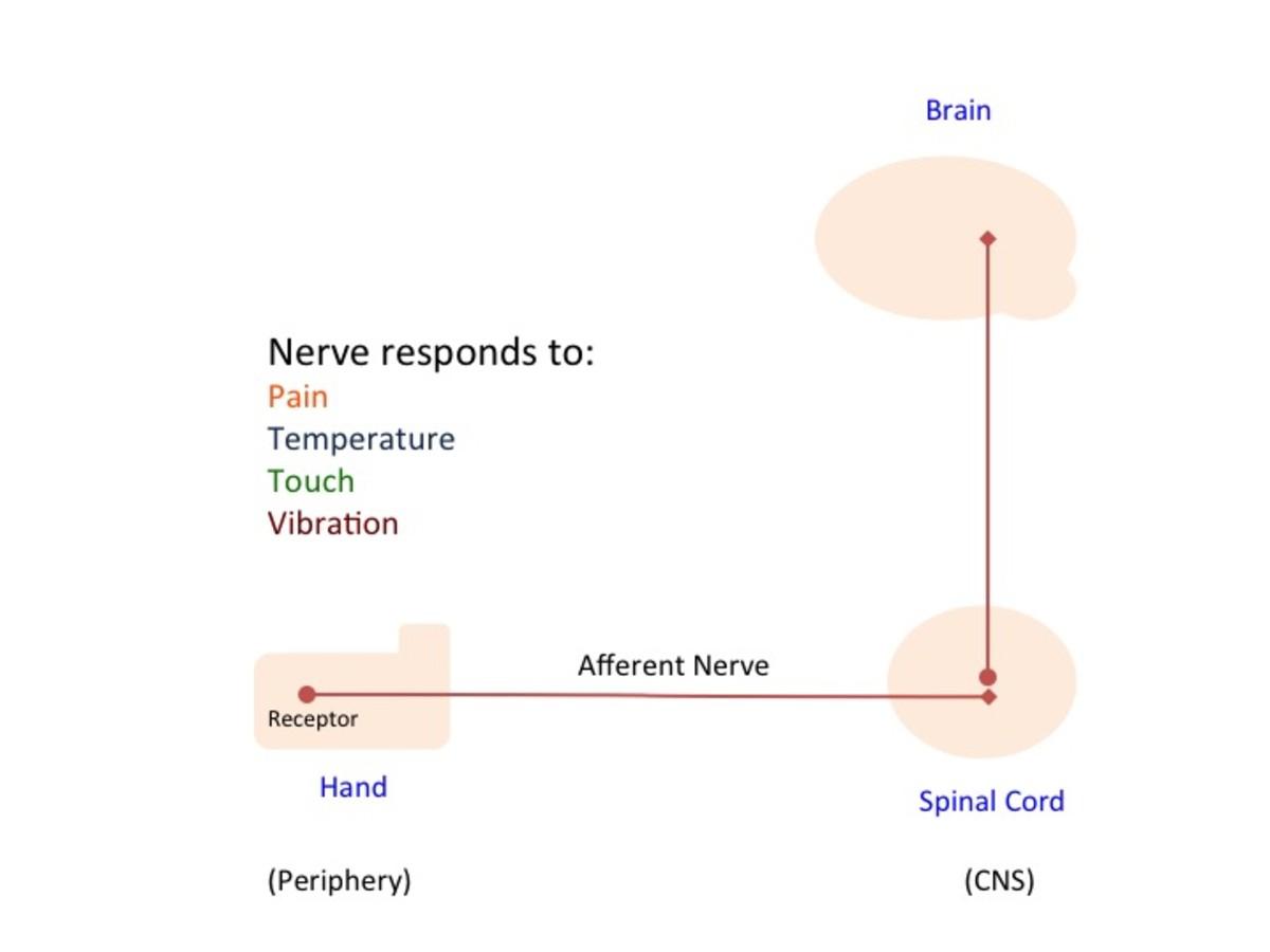 Simplified Somatosensory System