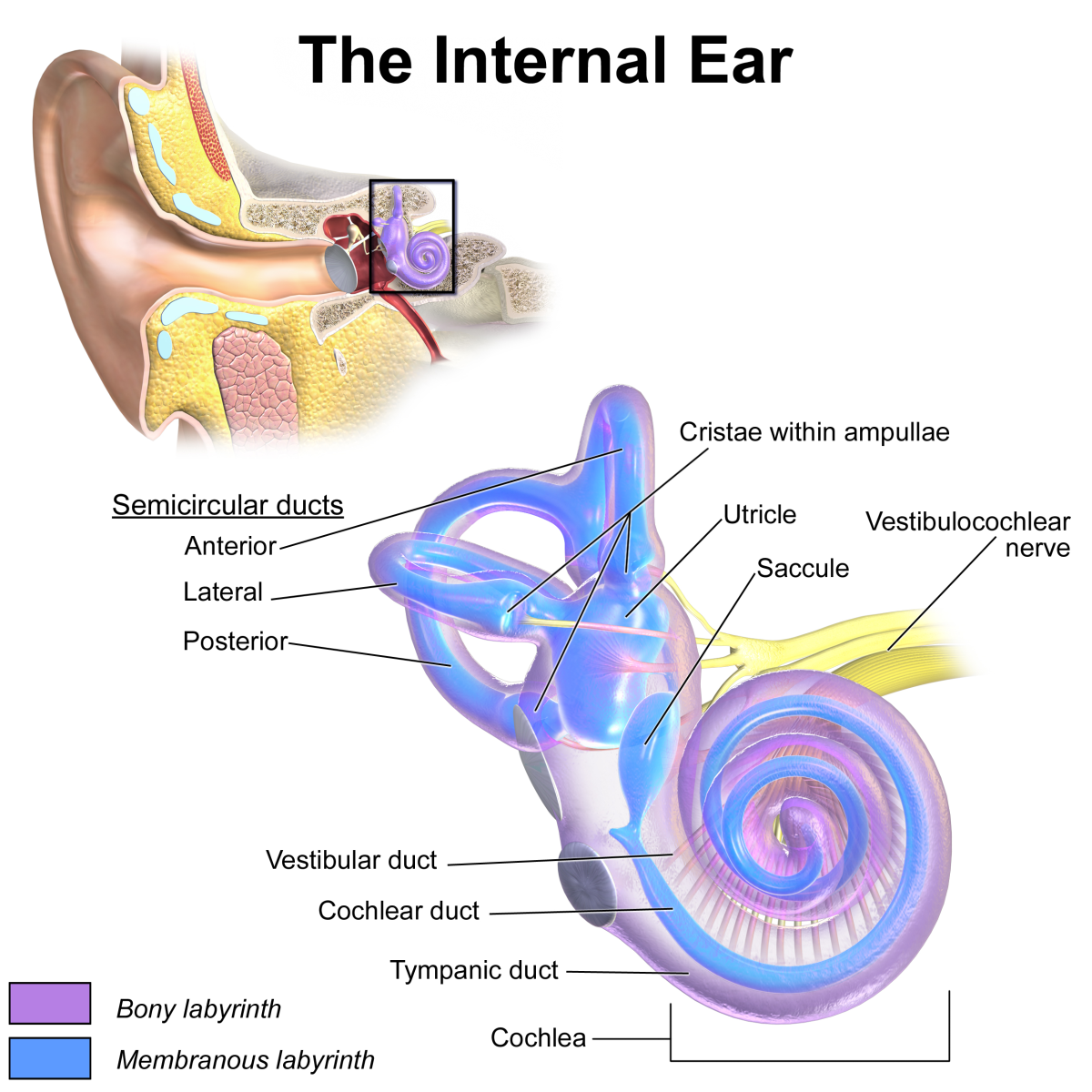 The vestibulocochlear nerve consists of the vestibular nerve and the cochlear (or auditory) nerve.