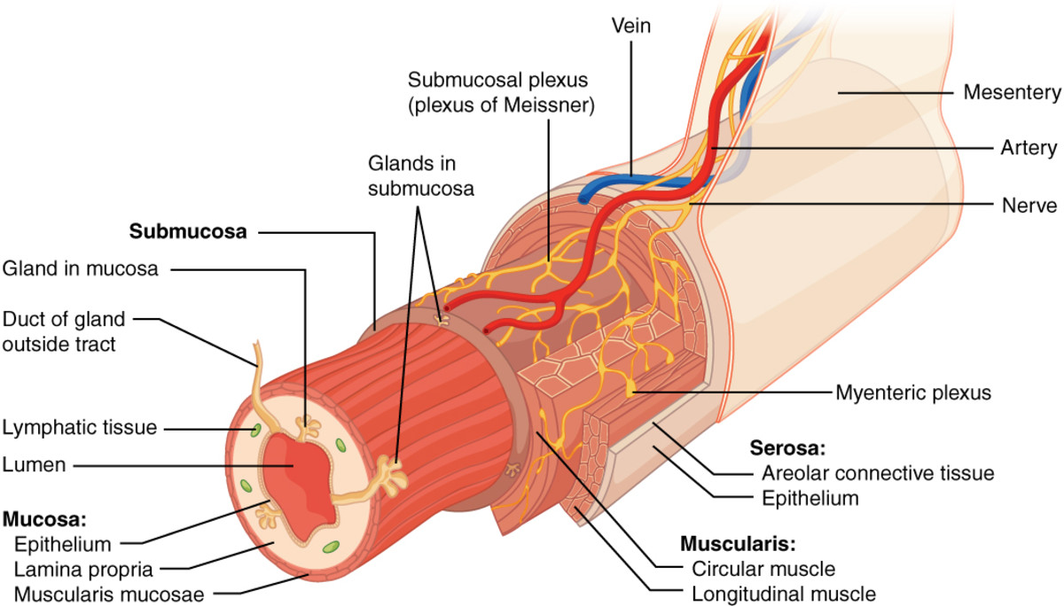 The yellow fibres are part of the enteric nervous system around the digestive tract.