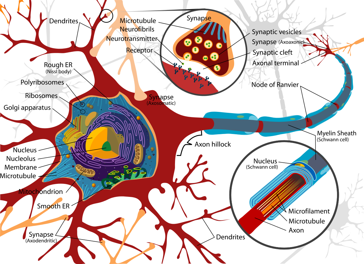The cell body of a neuron (or nerve cell) contains the nucleus. The axon is an extension that sends information to another neuron via a synapse.