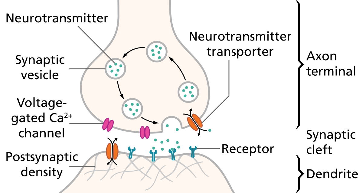 A synapse is the region where one neuron ends and another begins.