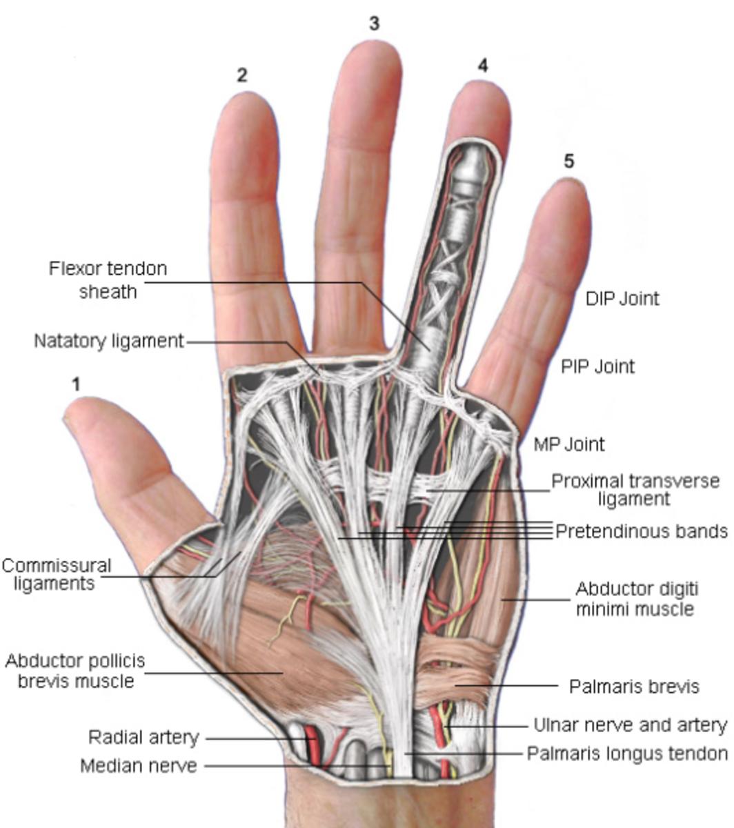 Anatomy of the hand.