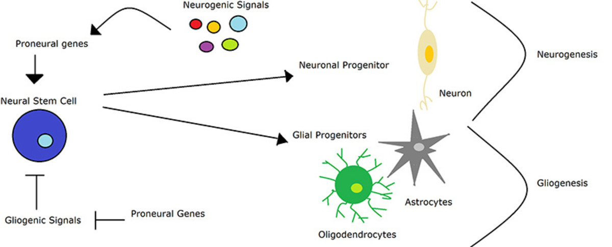The process of neurogenesis illustrated: from neurogenic signals to neurons