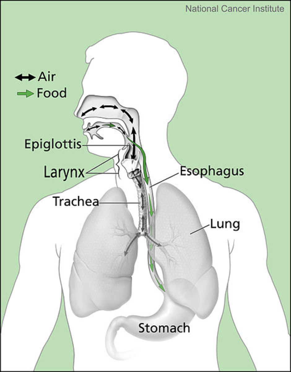 Note esophagus, leading to the stomach, for food and beverages, and trachea, leading to the lungs for air exchange.