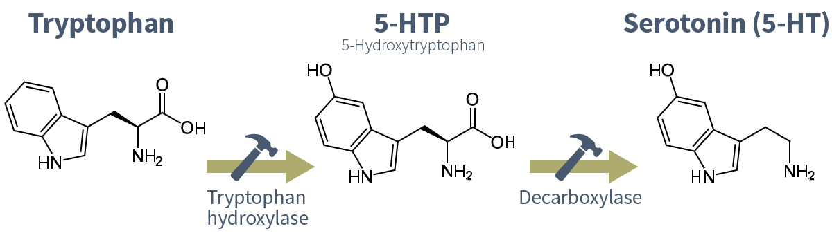 The process of tryptophan synthesis into serotonin