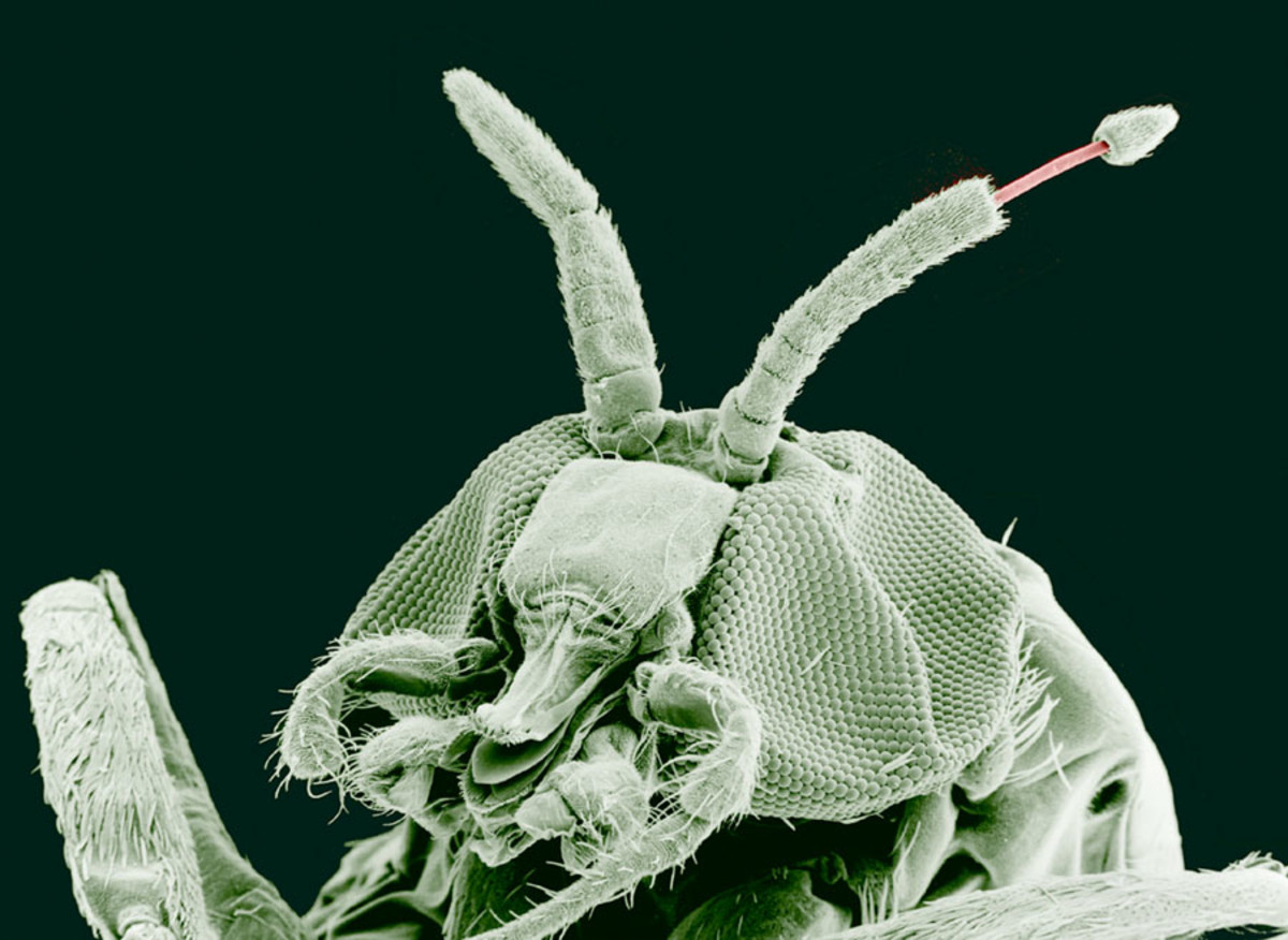 An adult black fly with the nematode that causes river blindness emerging from an antenna (magnified 100 times)