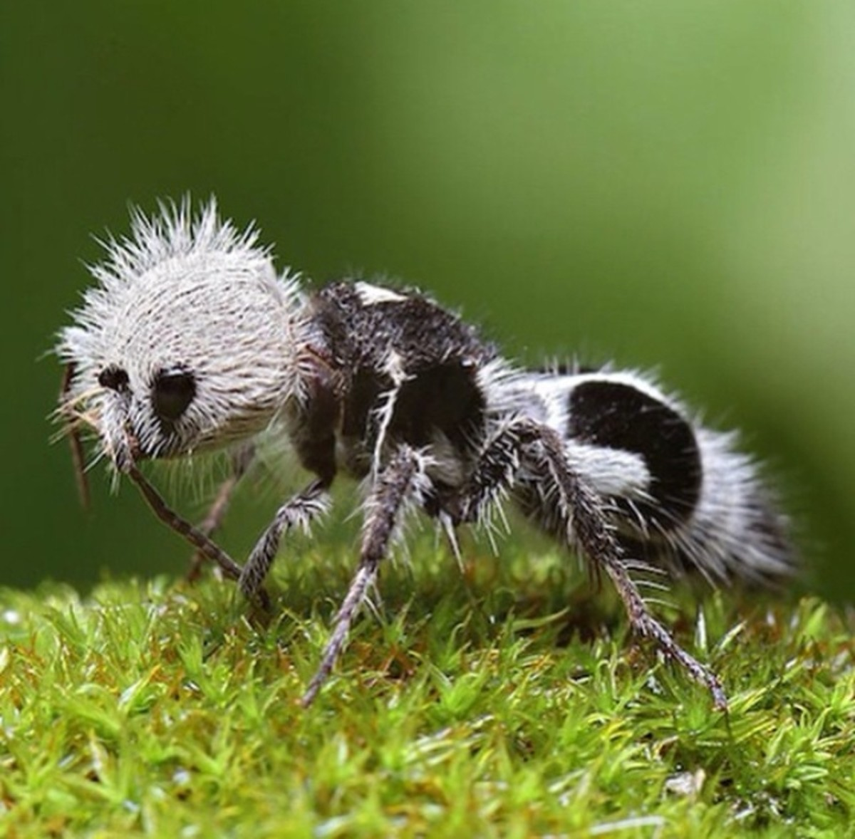 Female Panda Ant