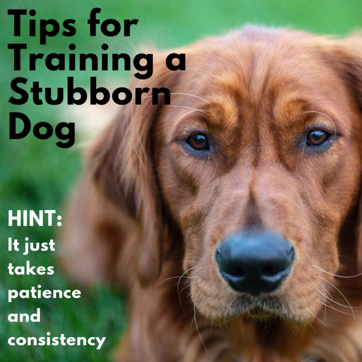 Learn some strategies for training the strong-willed dog.