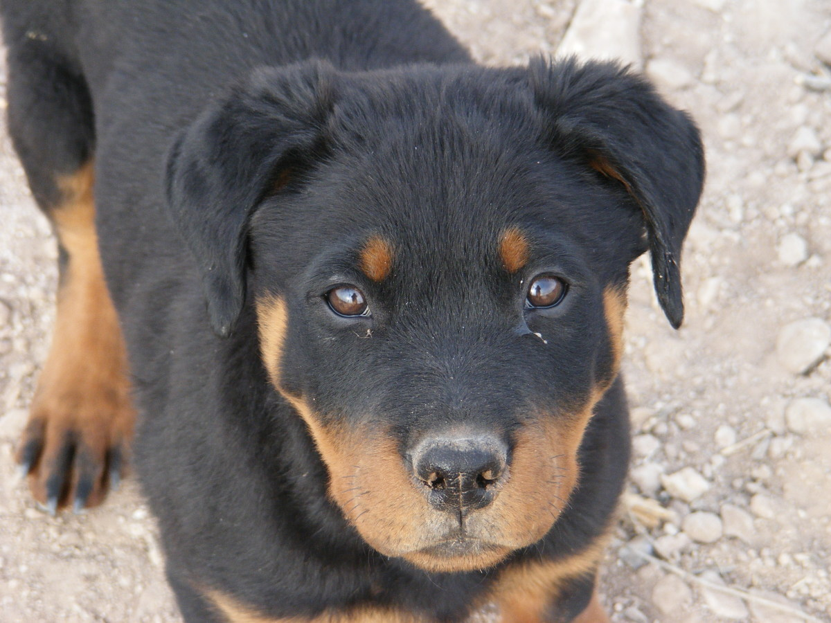 Rottweilers are unfortunately very prone to getting Parvo.