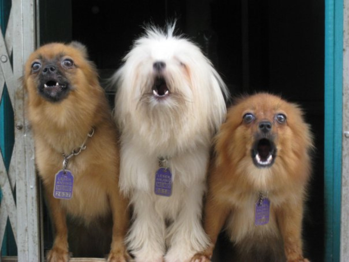 Small dogs kept in groups tend to bark a lot.