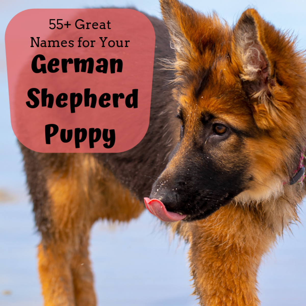 55 Best Dog Names for German Shepherd Puppies