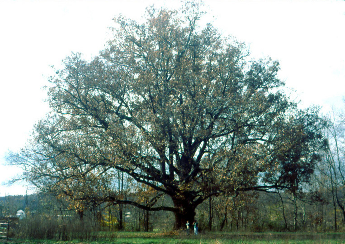Interesting Facts about Oak Trees